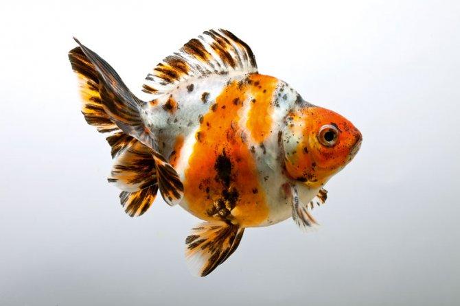 Ikan Mas Koki Calico - Jenis Ikan Mas Koki Dan Harga