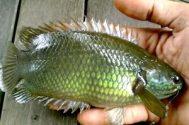 Sensasi Mancing Ikan Betik Menggunakan Joran Tegek