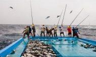 Teknik Memancing Cakalang Nelayan Tradisional