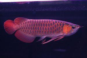 Spot ikan Arwana