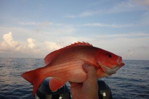 Manfaat Ikan Kakap Kubera