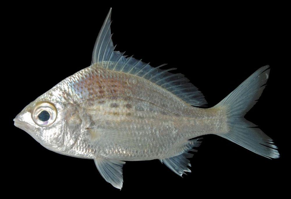 Mengenal Lebih Dekat Ikan Kapas-Kapas