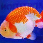 5 Cara Budidaya Ikan Mas Koki di Aquarium untuk Pemula