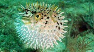 Manfaat dan Khasiat Ikan Buntal Tutul