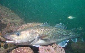 Manfaat dan Khasiat Ikan Kod Pasifik
