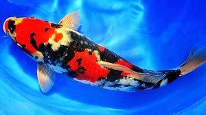 Manfaat dan Khasiat Ikan Koi