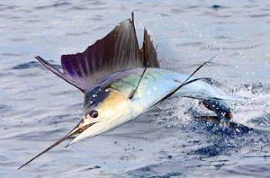Manfaat dan Khasiat Ikan Marlin Biru