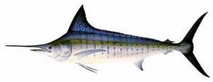 Manfaat dan Khasiat Ikan Marlin Loreng