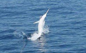 Manfaat dan Khasiat Ikan Marlin Putih