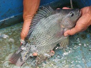 Manfaat dan Khasiat Ikan Nila Gesit