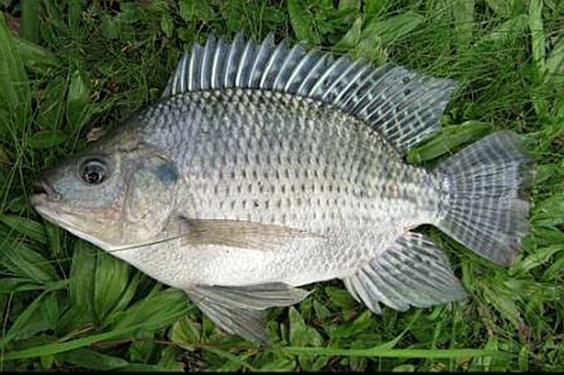 Ikan Nila Nirwana