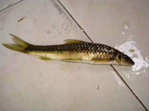 Manfaat dan Khasiat Ikan Selimang Batu