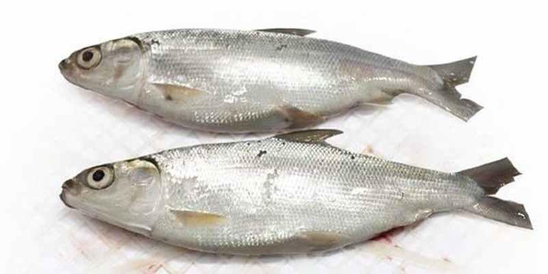 Otok Otok umpan Jitu Untuk Ikan Bandeng dan Patin