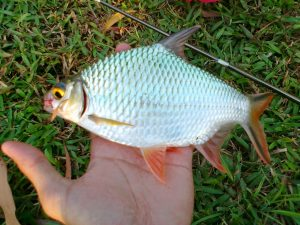 Sensasi Tarikan Ikan Lampam