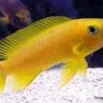 Mengenal Ikan Lemon Sebagai Ikan Hias Asal Afrika