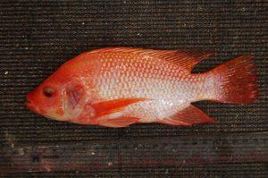 Mengenal Hama Dan Penyakit Ikan Nila