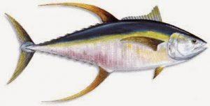 Keberadaan Yellowfin Tuna