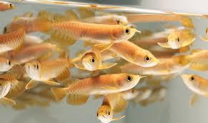 10 Cara Budidaya Ikan Arwana untuk Pemula