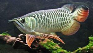 13 Cara Mengatasi Ikan Arwana Kurang Nafsu Makan