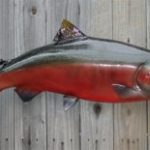 jenis salmon