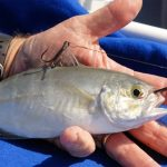 3 Teknik Pemasangan Umpan Hidup untuk Mancing di Laut