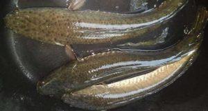 5 Penyakit Berat yang Bisa Disembuhkan dengan Mengkonsumsi Ikan Gabus