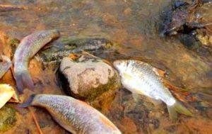 Cara Membuat Racun Ikan Sederhana Tapi Ampuh