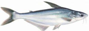 Khasiat dan Manfaat Ikan Patin Bagi Kesehatan Tubuh