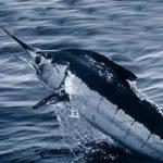 Ikan Billfish