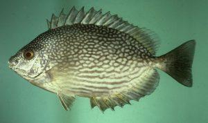 Memancing Ikan Kiper