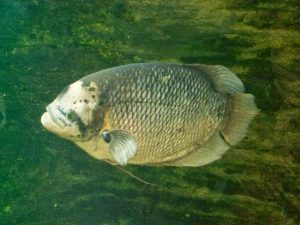 Budidaya Ikan Gurame dengan kolam terpal
