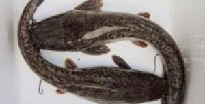 Budidaya Ikan Lele Dumbo Bagi Pemula