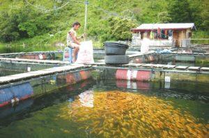 Budidaya Ikan Mas Dalam Keramba Mudah Bagi Pemula