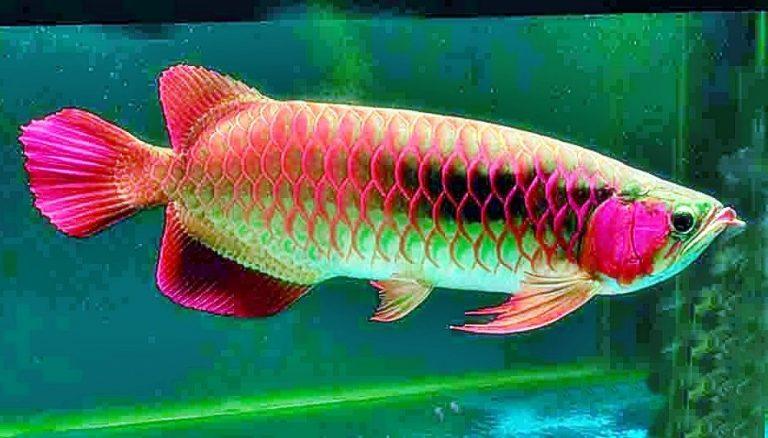 Cara Merawat Ikan Arwana Yang Baik Toko Pancing Langgengpancing 0821 383 01234 Toko Pancing Grosir Pancing Solo Alat Pancing