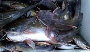 Cara Budidaya Ikan Baung di Kolam Terpal