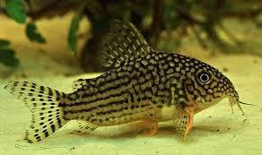 Cara Budidaya Ikan Corydoras Bagi Pemula