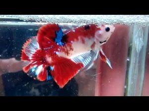 Cara Budidaya Ikan Cupang Koi Mudah Bagi Pemula