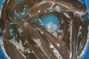 Cara Budidaya Ikan Gabus Secara Alami