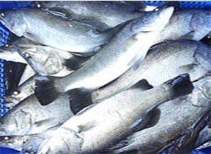 Cara Budidaya Ikan Kakap Putih