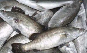 Cara Budidaya Ikan Kakap di Kolam Terpal dengan Mudah