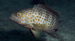 Cara Budidaya Ikan Kerapu Lumpur