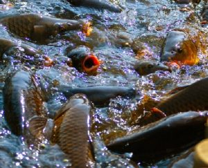Cara Budidaya Ikan Mas