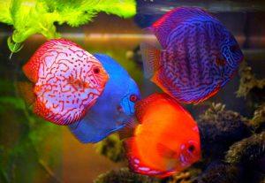 Cara Budidaya ikan Diskus