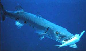 Cara Ikan Memakan Umpan