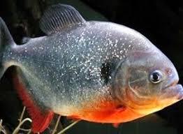 Cara Membedakan Ikan Bawal Tawar Jantan dan Betina
