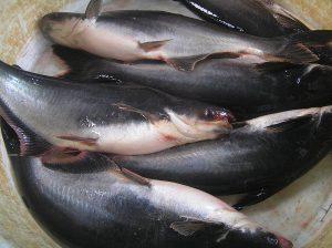 Cara Membuat Ramuan Umpan Mancing Ikan Patin Di Kolam