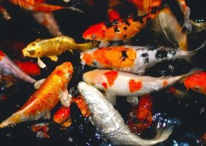 Cara Memelihara Ikan Koi Di Kolam Beton
