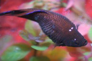Cara Mengatasi Ikan Cupang Kembung
