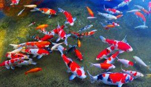 Cara Mengatasi Ikan Koi yang Stress