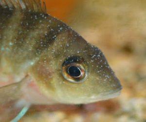 Cara Mengobati Penyakit Ikan White Spot